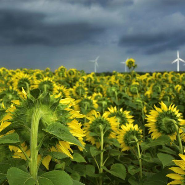 sunflower-4339580